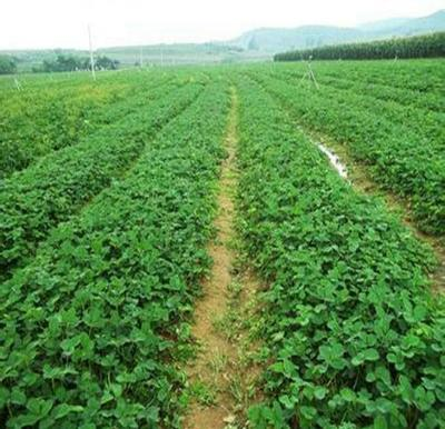 山东泰安四季草莓苗 10~20公分 地栽苗