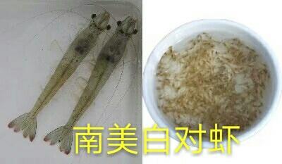 广东佛山对虾苗