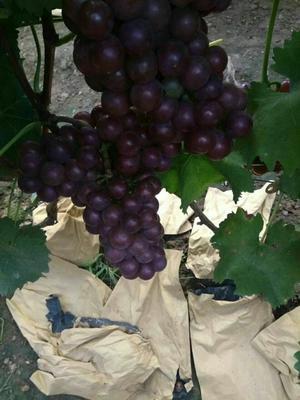 山东日照巨峰葡萄 0.8-1斤 5%以下 1次果