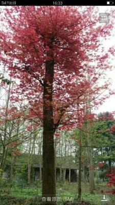 四川成都美国红枫
