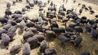 河南平顶山银斑珍珠鸡 4-6斤