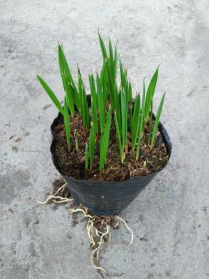 广东广州加拿利海枣 加拿利海枣种苗  园林绿化苗