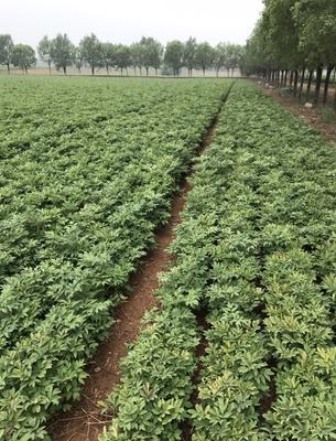 山西临汾油用牡丹种苗 0.5米以下 2cm以下 4cm以下