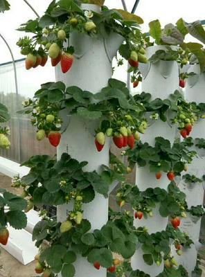 这是一张关于奶油草莓苗 10~20公分 地栽苗的产品图片