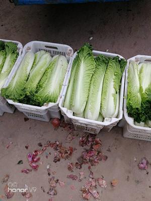 山西省晋中市太谷县秋绿60白菜 3~6斤 净菜