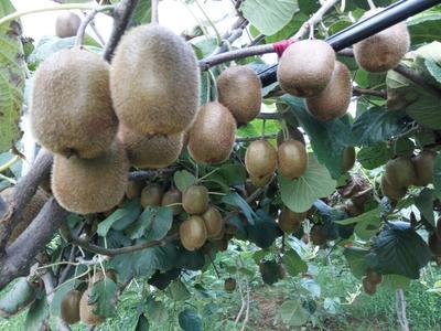 这是一张关于徐香猕猴桃 2两以上 绿心的产品图片