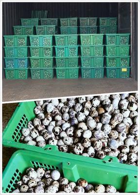 广东惠州黄羽鹌鹑蛋 食用 散装