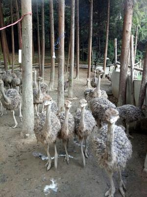 湖南益阳非洲鸵鸟苗