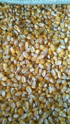 河南开封玉米干粮 霉变≤2% 净货