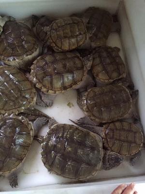 这是一张关于佛杂鳄龟 50cm以上 8-10斤的产品图片