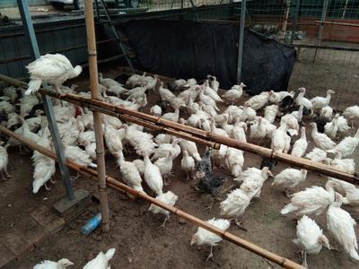 河北石家庄尼古拉火鸡 2斤以下 具体价格咨询卖家,按鸡龄定价