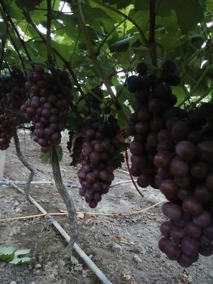 这是一张关于红无核葡萄 1 - 2斤 5%以下的产品图片