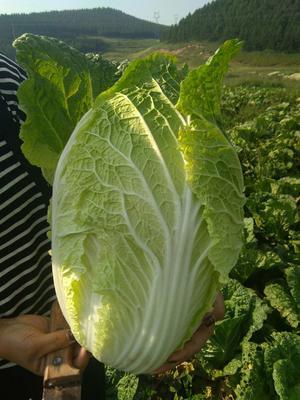这是一张关于黄心大白菜 6~10斤 二毛菜的产品图片