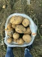 这是一张关于延署4号土豆 2两以上 延暑四号,三两以上四毛的产品图片