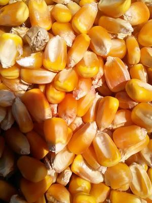 这是一张关于玉米干粮 净货 水份14%-16% 霉变≤1%的产品图片