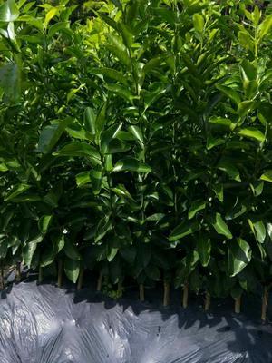 这是一张关于沙糖桔苗 嫁接苗 0.5~1米的产品图片