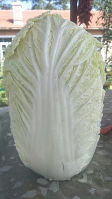 吉林省长春市农安县东北大矮白菜 2~3斤 净菜