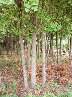 山东泰安银杏实生树