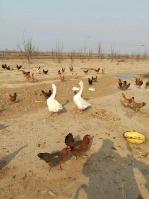 河北衡水枣强县特种蛋 食用 散装