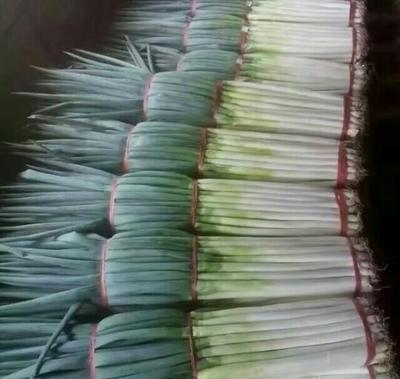河北邯郸铁杆大葱 40cm以上 净葱 2cm左右