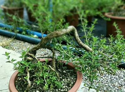 这是一张关于造型景观树 悬崖提根星花的产品图片