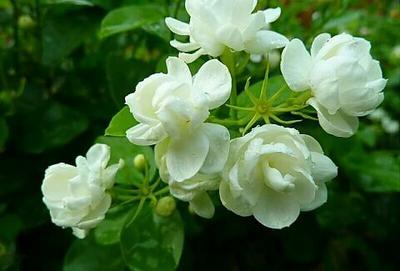 云南昆明呈贡区白色茉莉