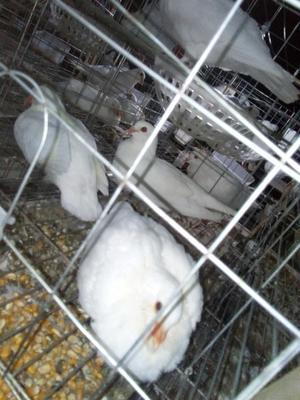湖北省随州市随县沃瑞斯美国香鸽 400-500克