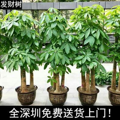 广东深圳台湾发财树