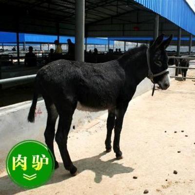 山东济宁乌头驴 200-400斤 乌头驴养殖场