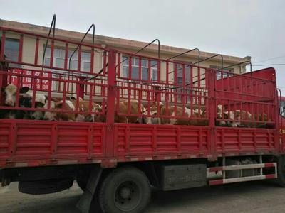 山西忻州西门塔尔牛 200-300斤 统货