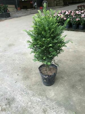 广东湛江南方红豆杉 0.5米以下
