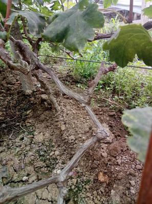 河北省石家庄市晋州市巨峰葡萄苗