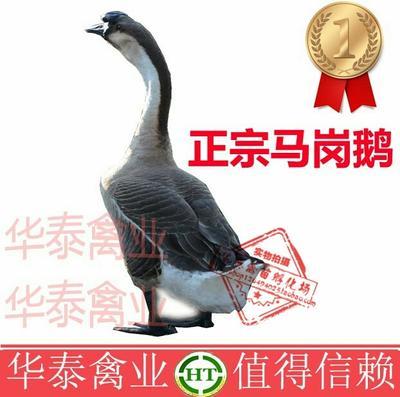 这是一张关于马岗鹅苗 惠农推荐  大种鹅苗 诚信企业认证的产品图片