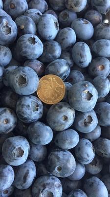 吉林白山蓝丰蓝莓 12 - 14mm以上