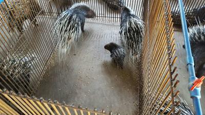 重庆中华豪猪 20-30斤