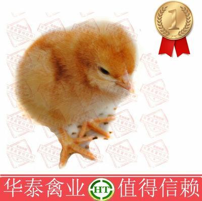 广西南宁海兰褐蛋鸡苗
