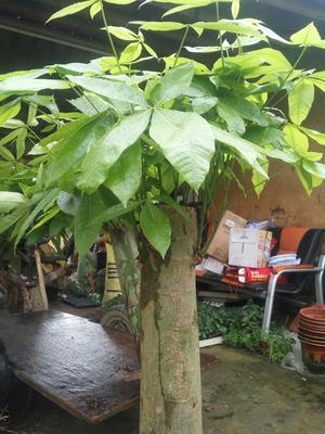 广东惠州独杆发财树