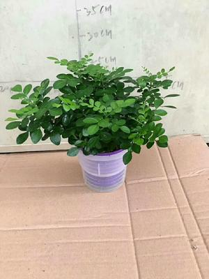 广东湛江九里香 水培