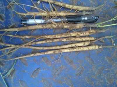 安徽淮南油用牡丹种苗 0.5米以下 2~4cm 4cm以下