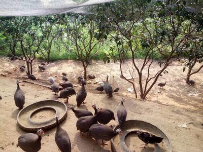 四川宜宾灰色珍珠鸡 2-4斤