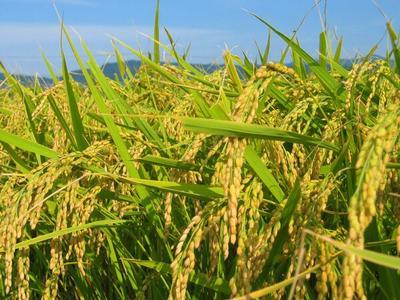 云南红河软红米