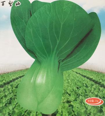 北京海淀青梗菜种子 种子