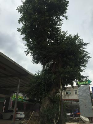 福建漳州小叶榕