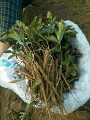 这是一张关于多花芍药 0.5米以下 2cm以下的产品图片