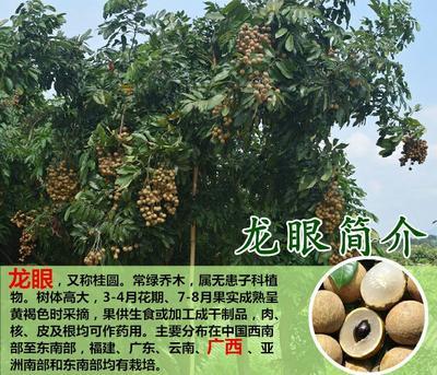 这是一张关于石硖苗的产品图片