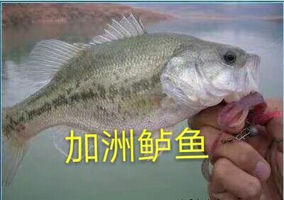 广东佛山淡水鲈鱼 人工养殖 0.5龙8国际官网官方网站以下