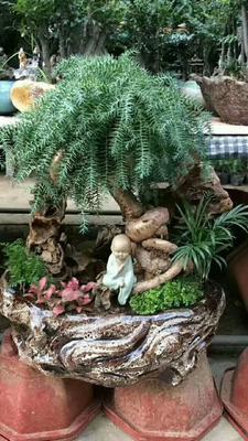 广东湛江造型景观树 澳洲杉