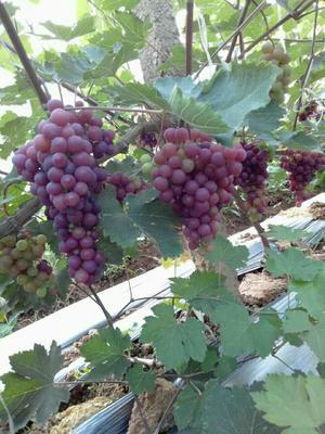这是一张关于巨峰葡萄 10%以上 2次果 2斤以上的产品图片