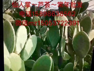 山东济宁墨西哥米邦塔食用 30~40公分