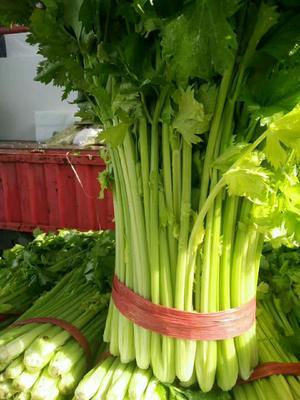 江苏徐州美国文图拉芹菜 55~60cm 0.5~1.0斤 西芹